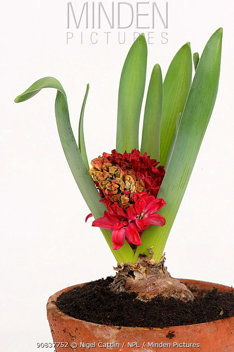 Aborted flowering hyacinth (Hyacinthus orientalis) bulb pot plant with grey mould (Botrytis cinerea) infection