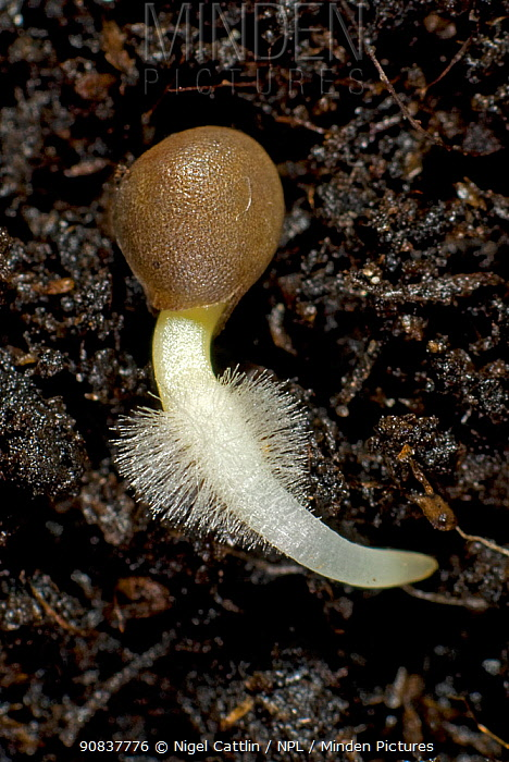 A germinating cabbage (Brassica oleracea) seed on soil with main root and root hairs developing from split seed coat