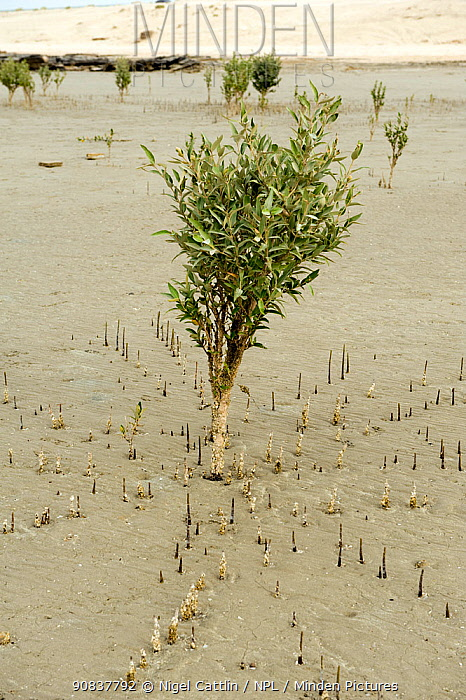 Young grey mangrove (Avicennia marina) tree at low tide with aerial roots or pneumatophores sticking up above the sand, Abu Dhabi