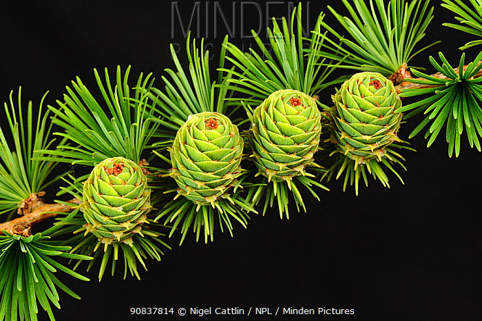 Young cones on larch (Larix decidua) among early season needle growth, Devon, England, UK, April.
