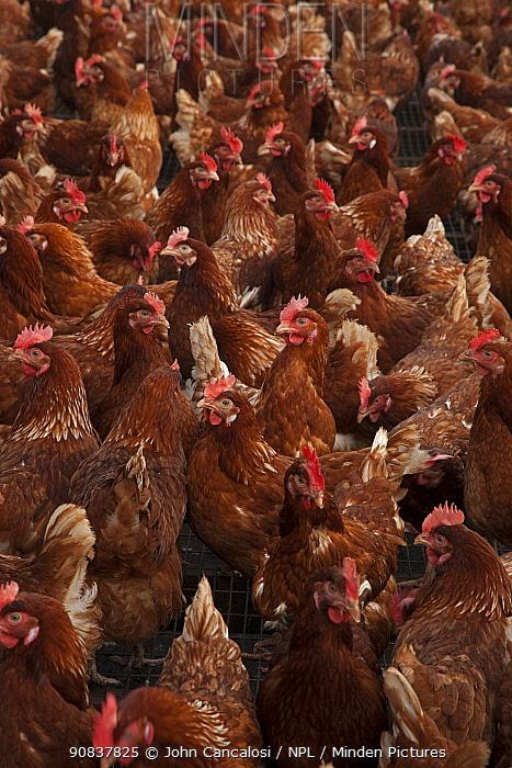 Free range hens (Gallus gallus domesticus). Herefordshire, England, UK.