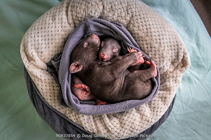 Two male orphaned and rescued baby bare-nosed wombats (Vombatus ursinus) named 'Bronson' and 'Landon', asleep in a home-made pouch, (aged 6 and 7 months). Cared for by Emily Small, founder of Goongerah Wombat Orphanage. Due to Covid-19 lockdown she is caring for them in her Melbourne inner-city apartment, not at the orphanage 450kms away. Temporarily captive, until old enough to be released. Preston, Victoria, Australia, May 2020. Editorial use only.