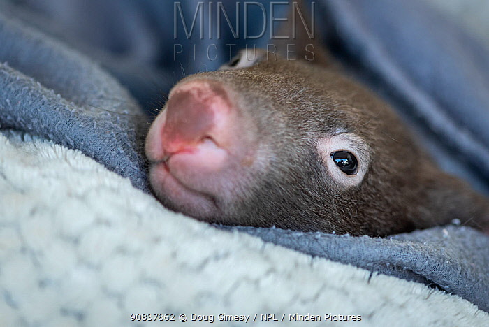 A 7-month-old male orphaned and rescued baby bare-nosed wombat (Vombatus ursinus) named 'Bronson', in a home-made pouch. Cared for by Emily Small, founder of Goongerah Wombat Orphanage. Due to Covid-19 lockdown she is caring for him in her Melbourne inner-city apartment, not at the orphanage 450kms away. Temporarily captive, until old enough to be released. Preston, Victoria, Australia, May 2020. Editorial use only.