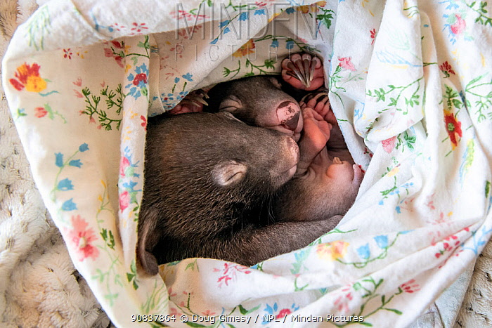 Two male orphaned and rescued baby bare-nosed wombats (Vombatus ursinus) named 'Bronson' and 'Landon', asleep in a home-made pouch, (aged 6 and 7 months). Cared for by Emily Small, founder of Goongerah Wombat Orphanage. Due to Covid-19 lockdown she is caring for them in her Melbourne inner-city apartment, not at the orphanage 450kms away. Temporarily captive, until old enough to be released. Preston, Victoria, Australia, May 2020. Cropped. Editorial use only.