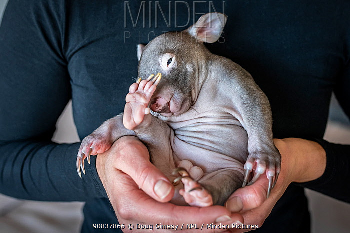 Emily Small, founder of Goongerah Wombat Orphanage, in her apartment, holding Landon' a bare-nosed wombat (Vombatus ursinus) male, age 6 months. Due to Covid-19 lockdown she is caring for 3 orphan baby wombats in her Melbourne inner-city apartment, not at the orphanage 450kms away. Temporarily captive, until old enough to be released. Preston, Victoria, Australia, May 2020. Cropped. Model released. Editorial use only.