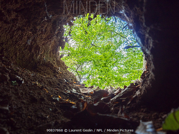 View looking out from a hollow tree, typical site for a red fox den.