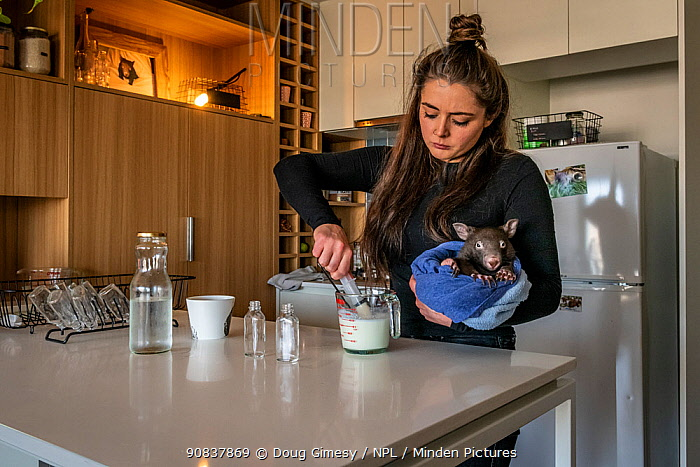 Emily Small, founder of Goongerah Wombat Orphanage, wildlife rescuer and carer, makes up a wombat feed supplement, whilst holding 'Bronson' (8 months old), one of the three orphaned and rescued baby bare-nosed wombats (Vombatus ursinus) in her care. Due to Covid-19 lockdown she is caring for them in her Melbourne inner-city apartment, not at the orphanage 450kms away. Temporarily captive, until old enough to be released. Preston, Victoria, Australia. June, 2020. Model released. Editorial use only.