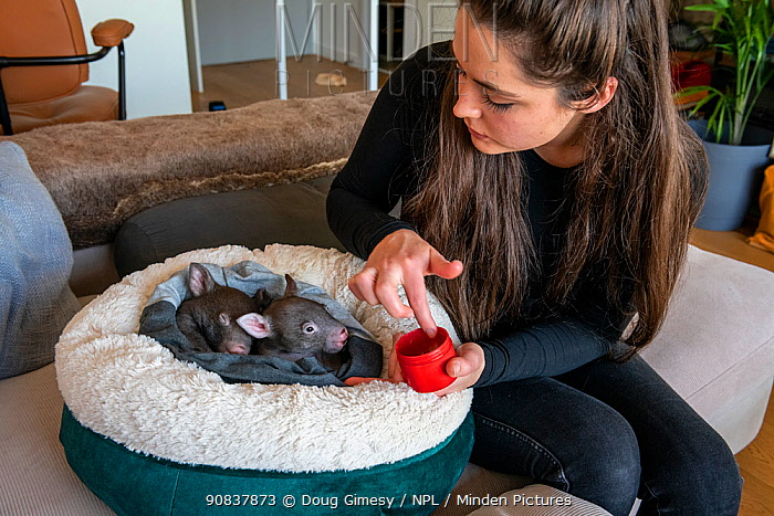 Emily Small, founder of Goongerah Wombat Orphanage, wildlife rescuer and carer, applies PawPaw ointment (a product made for skin from fermented papaw fruit), to the feet of rescued baby bare-nosed wombat (Vombatus ursinus). Due to Covid-19 lockdown she is caring for them in her Melbourne inner-city apartment, not at the orphanage 450kms away. Temporarily captive, until old enough to be released. Preston, Victoria, Australia. June, 2020. Model released. Editorial use only.
