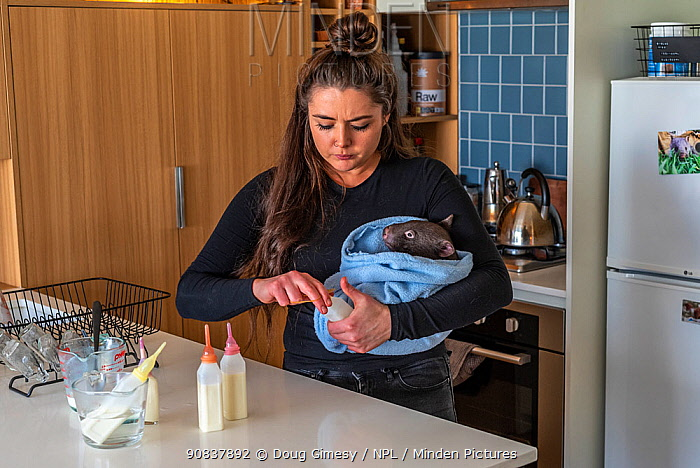 Emily Small, founder of Goongerah Wombat Orphanage, wildlife rescuer and carer, makes up a wombat feed supplement, whilst holding 'Bronson' an orphaned and rescued baby bare-nosed wombats (Vombatus ursinus) aged 9 months. Due to Covid-19 lockdown she is caring for him in her Melbourne inner-city apartment, not at the orphanage 450kms away. Temporarily captive, until old enough to be released. Preston, Victoria, Australia, July 2020. Model released. Editorial use only.