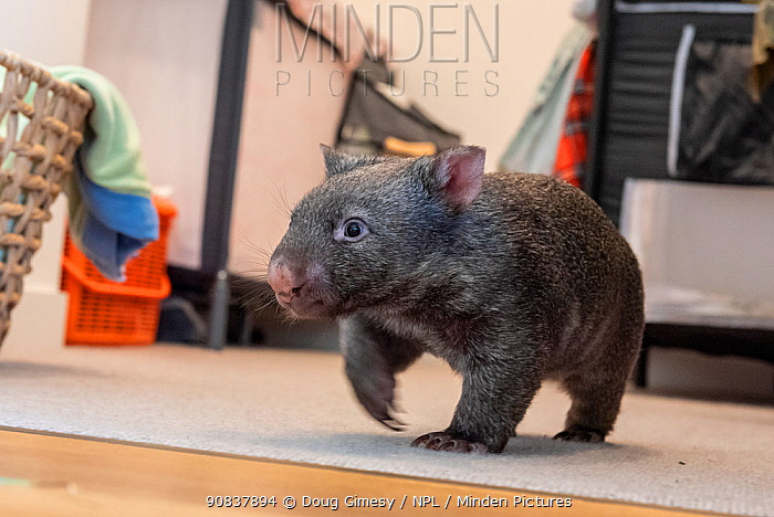 A 9-month-old orphaned and rescued baby bare-nosed wombat (Vombatus ursinus) 'Beatrice', exploring apartment. Due to Covid-19 lockdown, Emily Small. founder of Goongerah Wombat Orphanage, is caring for wombats in her Melbourne inner-city apartment, not at the orphanage 450kms away. Temporarily captive, until old enough to be released. Preston, Victoria, Australia, July 2020. Editorial use only.