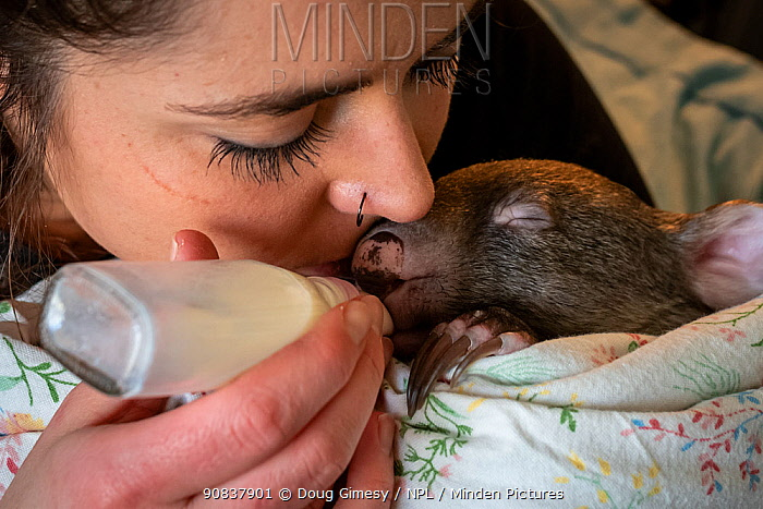 An 8-month-old male orphaned and rescued baby bare-nosed wombat (Vombatus ursinus) 'Landon', bottle fed a food supplement by Emily Small, founder of Goongerah Wombat Orphanage. Due to Covid-19 lockdown she is caring for him in her Melbourne inner-city apartment, not at the orphanage 450kms away. Temporarily captive, until old enough to be released. Preston, Victoria, Australia, July 2020. Model released. Cropped. Editorial use only.