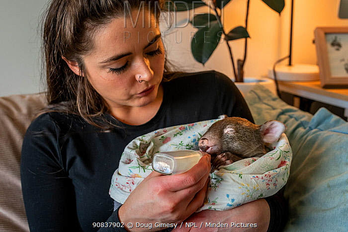 An 8-month-old male orphaned and rescued baby bare-nosed wombat (Vombatus ursinus) 'Landon', bottle fed a food supplement by Emily Small, founder of Goongerah Wombat Orphanage. Due to Covid-19 lockdown she is caring for him in her Melbourne inner-city apartment, not at the orphanage 450kms away. Temporarily captive, until old enough to be released. Preston, Victoria, Australia, July 2020. Model released. Editorial use only.