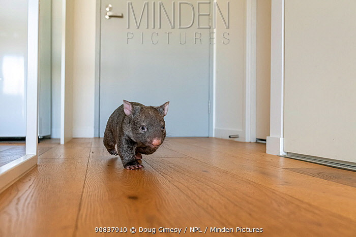 A 9-month-old orphaned and rescued baby bare-nosed wombat (Vombatus ursinus) 'Beatrice', running in apartment. Due to Covid-19 lockdown, Emily Small. founder of Goongerah Wombat Orphanage, is caring for wombats in her Melbourne inner-city apartment, not at the orphanage 450kms away. Temporarily captive, until old enough to be released. Preston, Victoria, Australia, July 2020. Editorial use only.