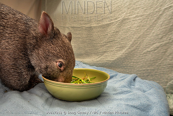 A 9-month-old orphaned and rescued female bare-nosed wombat (Vomabtus ursinus) called Beatrice, in her cot, feeding on some grass and dirt. Temporarily captive, until old enough to be released. Preston, Victoria, Australia. July, 2020. Editorial use only.