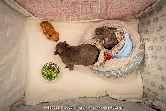 Two orphaned and rescued male baby bare-nosed wombats (Vombatus ursinus) named 'Bronson' and 'Landon' snuffling dirt and chewing grass that has been placed in their cot. Temporarily captive, until old enough to be released. Preston, Victoria, Australia. July, 2020. Editorial use only.