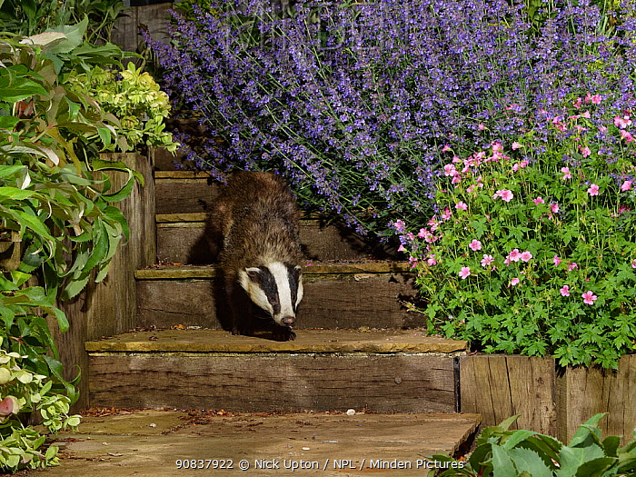 European badger (Meles meles) juvenile walking down some garden steps at night, flanked by flowering Hellebores (Helleborus sp.), Catmint (Nepeta sp.) and Hardy geraniums (Geranium sp.), Wiltshire, UK, June. Property released.