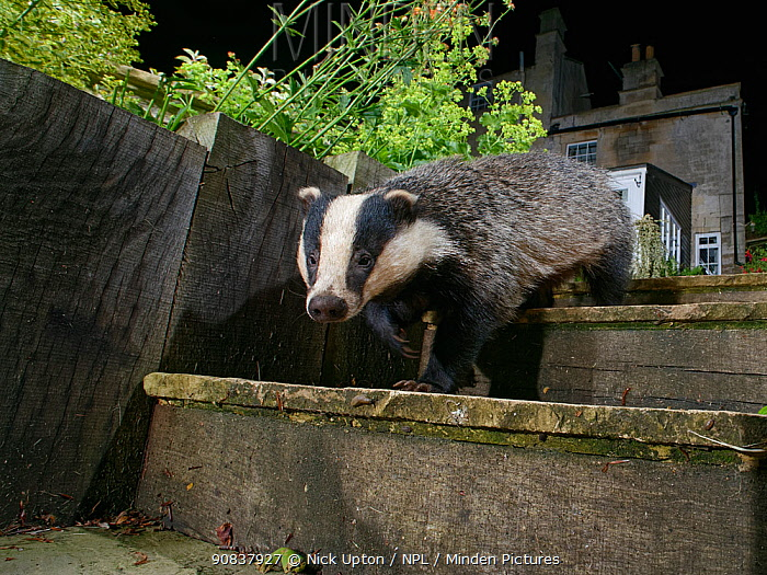 European badger (Meles meles) walking down garden steps at night, with house in background, Wiltshire, UK, June.