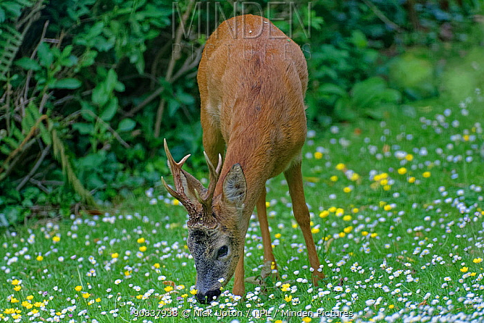 Roe deer (Capreolus capreolus) buck with well developed horns grazing on garden lawn carpeted with Common daisies (Bellis perennis) and Buttercups (Ranunculus acris) on a cloudy day, Wiltshire, UK, June.