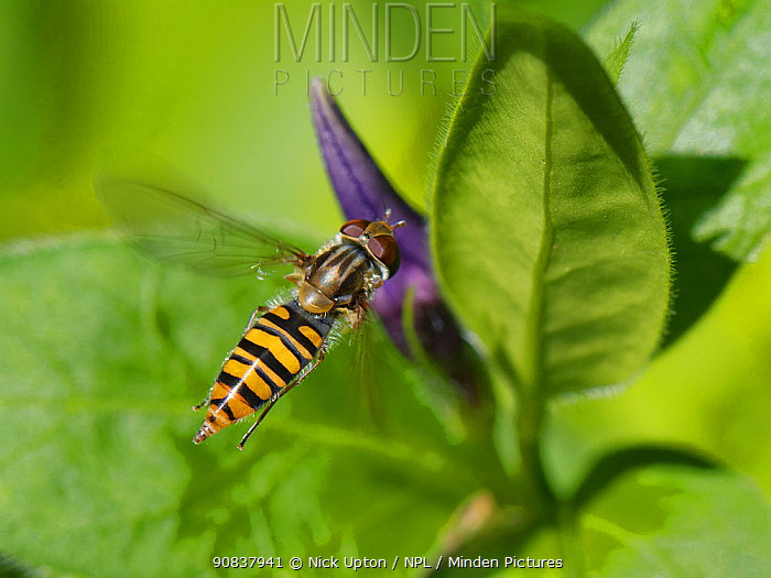 Marmalade hoverfly (Episyrphus balteatus) hovering over a Greater periwinkle (Vinca major) flower in garden, Wiltshire, UK, April.