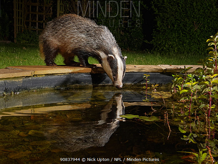 European badger (Meles meles) reflected in a garden pond as it drinks from it at night, Wiltshire, UK, June. Property released.