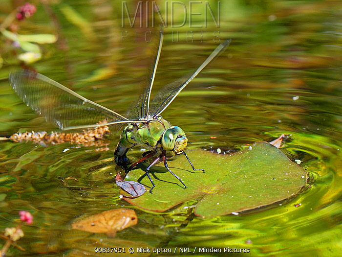 Emperor dragonfly / Blue emperor (Anax imperator) female standing on a Water lily leaf while dipping her abdomen into the water to lay eggs on its submerged stem, Wiltshire, UK, May.