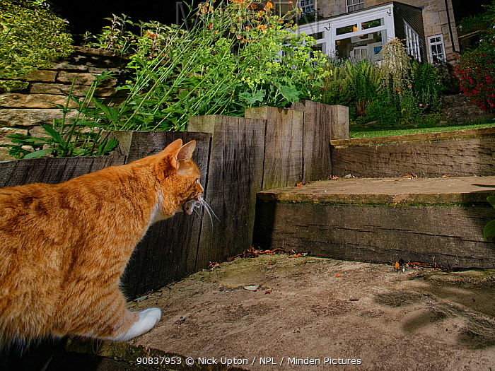 Domestic cat (Felis catus) climbing garden steps at night with a dead mouse in its jaws, Wiltshire, UK, June. Property released.