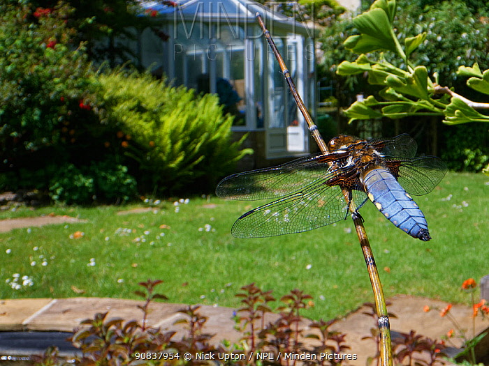 Broad-bodied chaser dragonfly (Libellula depressa) male sunning on a marginal plant stem in a garden pond, Wiltshire, UK, May.