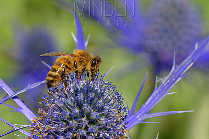 Honey bee (Apis mellifera) nectaring on Eryngium (Eryngium sp.) flowers in a suburban garden, Bradford-on-Avon, Wiltshire, UK, June.