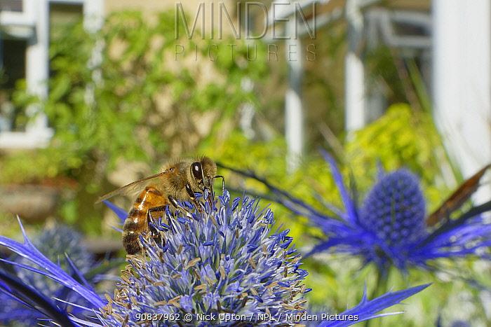 Honey bee (Apis mellifera) nectaring on Eryngium (Eryngium sp.) flowers in a suburban garden close to a house, Bradford-on-Avon, Wiltshire, UK, June. Property released.