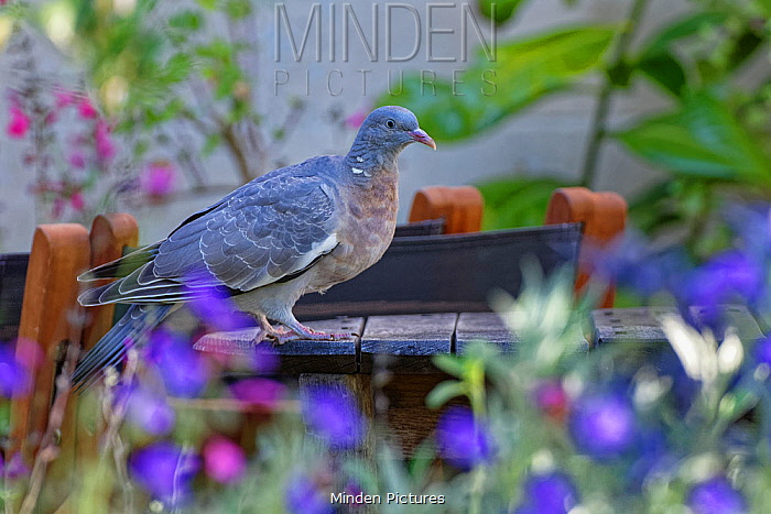 Wood pigeon (Columba palumbus) perched on a garden table between a flowerbed and a suburban house, Bradford-on-Avon, Wiltshire, UK, June.