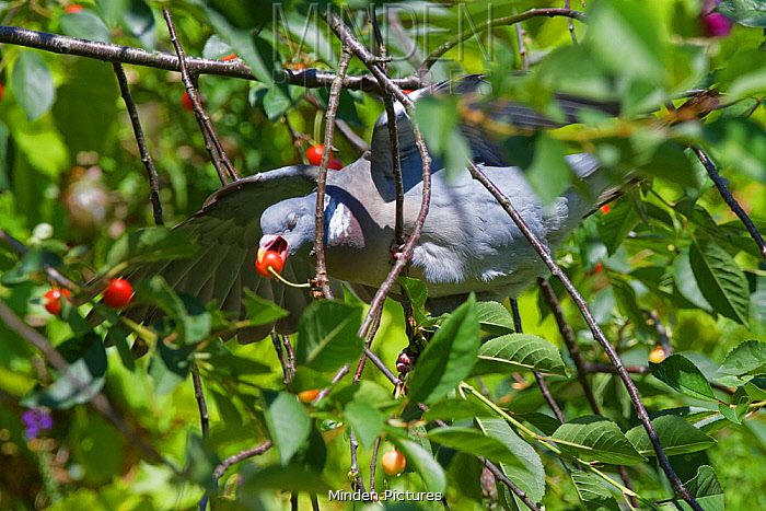Wood pigeon (Columba palumbus) perched precariously on a thin twig as it reaches out to pluck a Morello cherry (Prunus cerasus) from a tree in a suburban garden, Bradford-on-Avon, Wiltshire, UK, June.