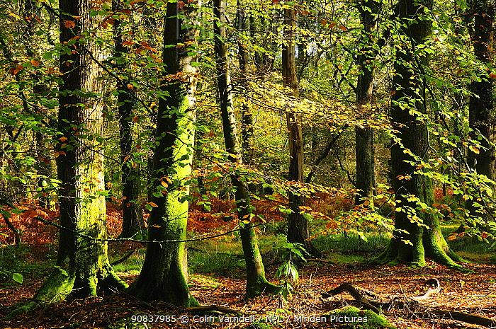 Beech woodland near Blackwater Brook. New Forest National Park. November 2014
