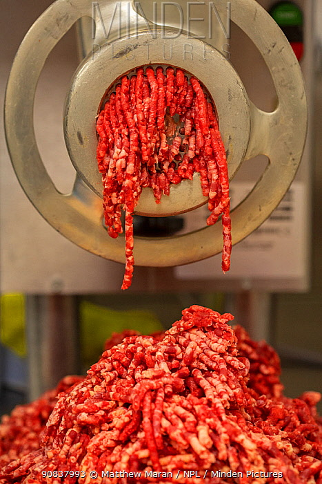Beef going through mincing machine at butchers.