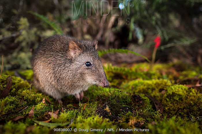 Long-nosed potoroo (Potorous tridactylus) portrait. Captive, photographed under controlled conditions at the Conservation Ecology Centre, Victoria, Australia.