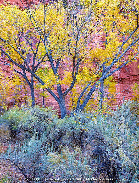 Cottonwood (Populus sp) trees and Sagebrush (Artemisia sp), Long Canyon at the confluence with The Gulch. Grand Staircase-Escalante National Monument, Utah, USA. October.