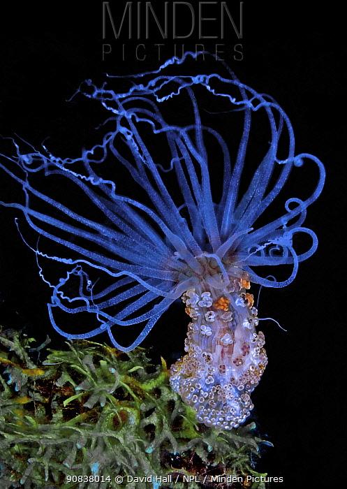 Tuberculate night anemone (Alicia sansibarensis), clusters of cnidocytes / stinging cells on column. Komodo, Indonesia.