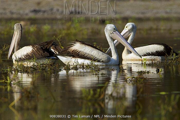 Australian pelican (Pelecanus conspicillatus) Lotusbird Billabong, Cape York Peninsula, Queensland, Australia
