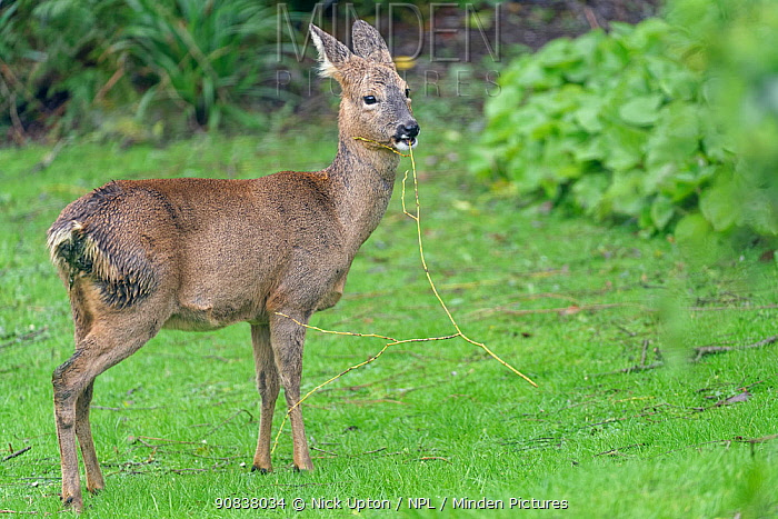Roe deer (Capreolus capreolus) doe standing on a lawn, chewing a fallen twig with leaf buds on from a Weeping willow tree (Salix x sepulcralis), Wiltshire garden, UK, February.
