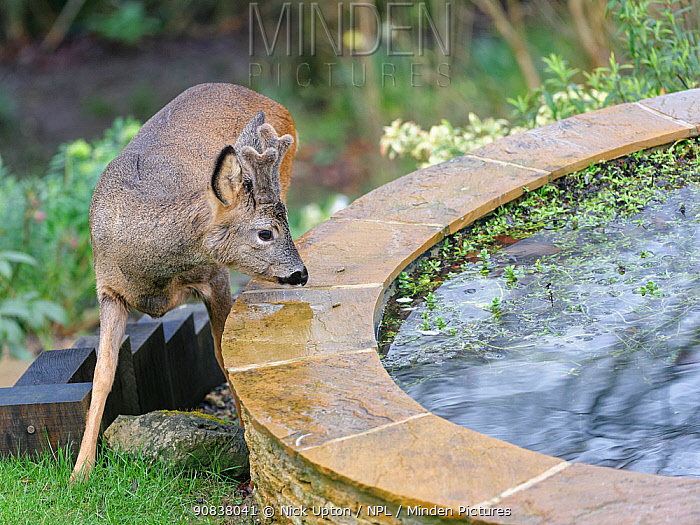 Young Roe deer (Capreolus capreolus) buck with developing horns in velvet approaching a garden pond, Wiltshire garden, UK, February.