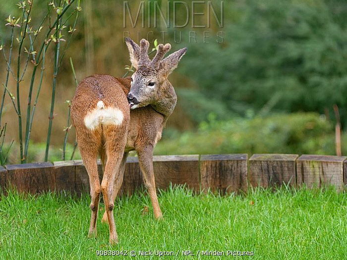 Roe deer (Capreolus capreolus) buck with developing horns in velvet grooming itself as it stands on a garden lawn, Wiltshire garden, UK, February.