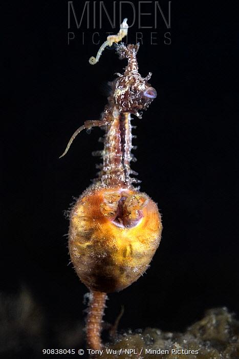 Male Korean seahorse (Hippocampus haema) giving birth. Kumamoto Prefecture, Kyushu, Japan.