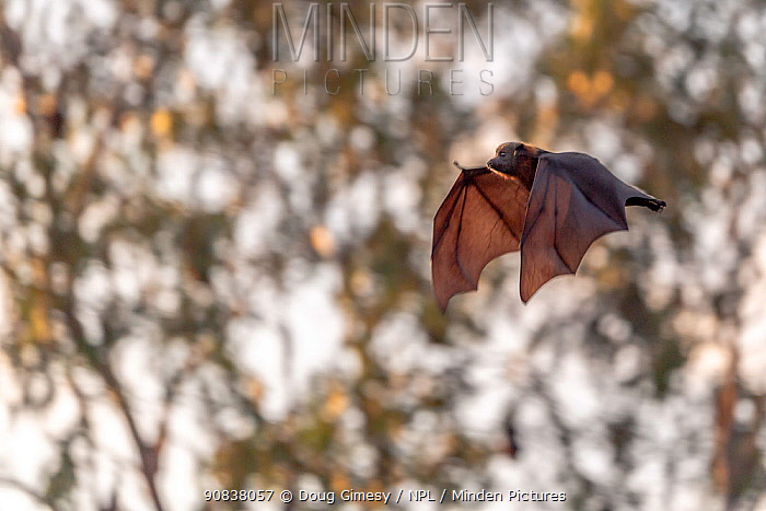 Grey-headed flying-fox (Pteropus poliocephalus) flying just before sunset.?? Yarra Bend Park, Kew, Victoria, Australia.? April.