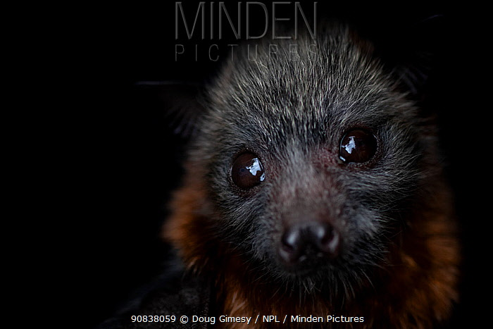 Portrait of a female rescued Grey-headed flying-fox (Pteropus poliocephalus) pup.