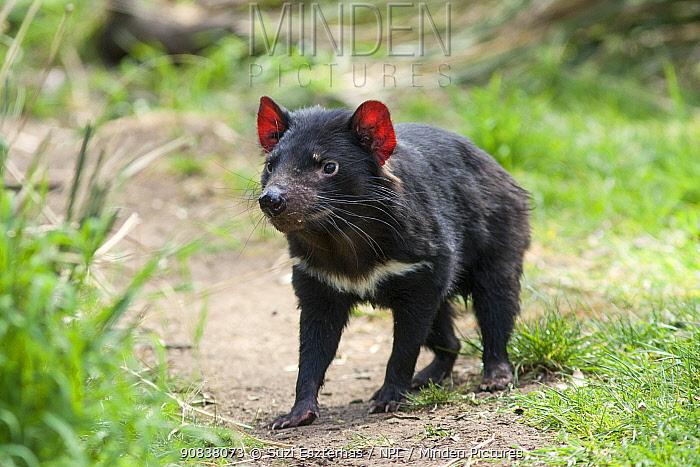 Tasmanian devil (Sarcophilus harrisii), Bonorong Wildlife Sanctuary, Tasmania. October. Captive animal - rescued and in rehabilitation.