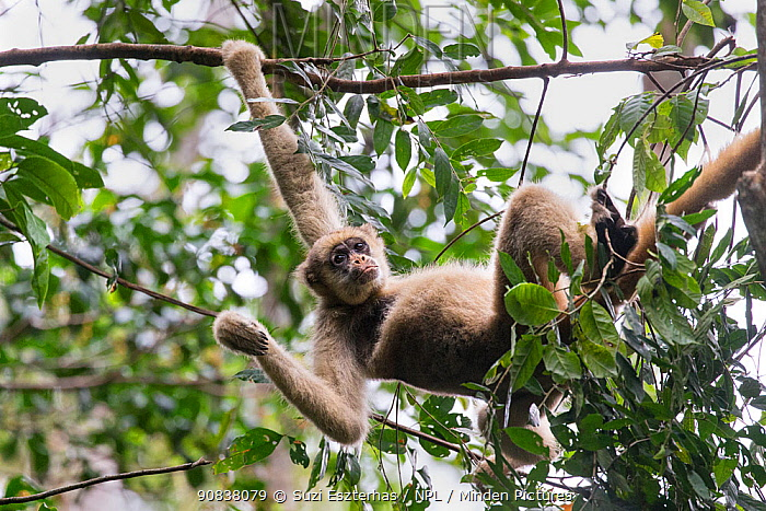 Northern muriqui monkey (Brachyteles hypoxanthus) hanging in a tree, RPPN Feliciano Miguel Abdala, Atlantic Forest, Brazil. June.