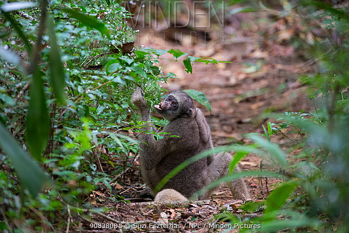 Northern muriqui monkey (Brachyteles hypoxanthus) feeding on berries while sitting on the forest floor, RPPN Feliciano Miguel Abdala, Atlantic Forest, Brazil. June.