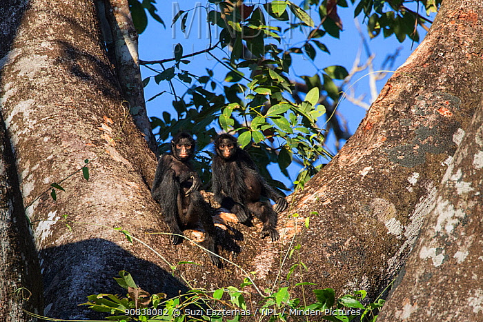 Black-handed spider monkey (Ateles geoffroyi) two in a tree, Amazon, Brazil. June.