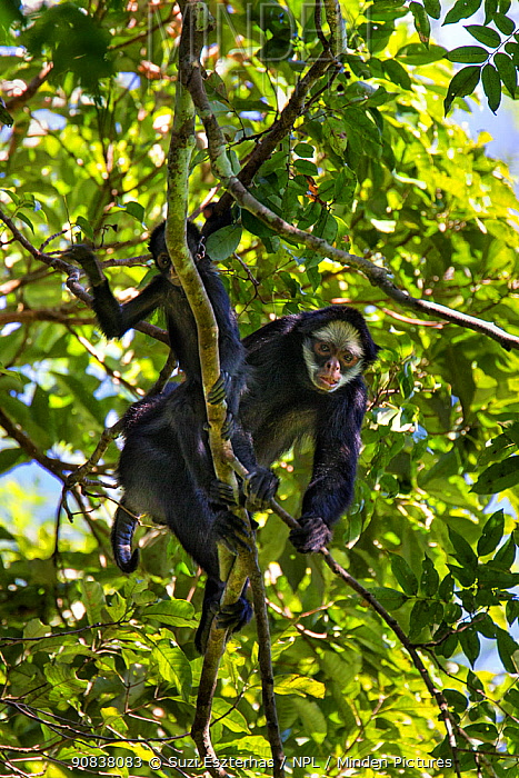 White-cheeked spider monkey (Ateles marginatus), Amazon, Brazil. June.