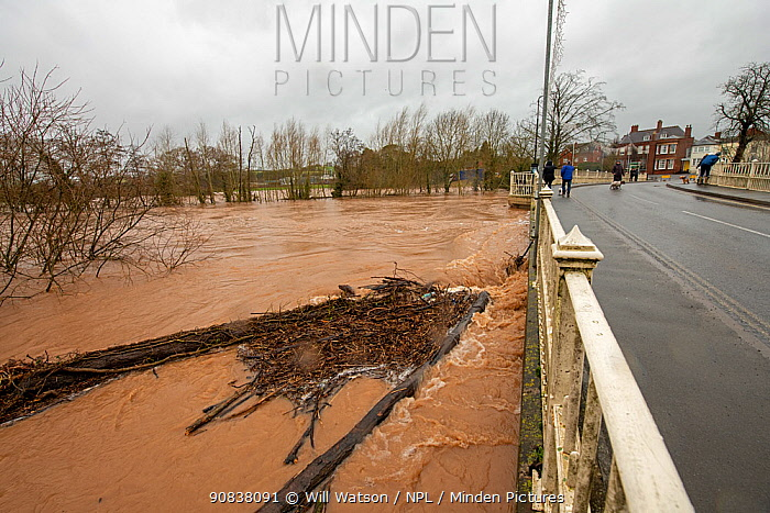 High water levels of River Teme, submerged trees and flood debris during Storm Dennis floods, Tenbury Wells Bridge, Worcestershire, England, UK. February 2020.
