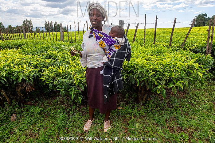 Tea (Camellia sinensis) plantation and woman cooperative plantation worker with her baby, giving a presentation on tea plant growing and harvesting, Kenya, January 2020